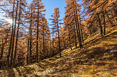 European larch (Larix decidua) in autumn, Val d'Arolla, Valais canton, Alps, Switzerland