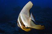 Longfin batfish (Platax teira), Reunion island, Indian Ocean