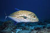 Bluefin trevally (Caranx melampygus) above the bottom, Reunion Island, Indian Ocean