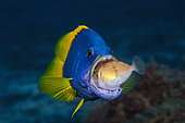 Blue-and-yellow grouper (Epinephelus flavocaeruleus) juvenile swallowing prey, Reunion Island, Indian Ocean