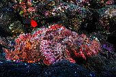 Tassled scorpionfish (Scorpaenopsis oxycephala) in reef, La Réunion, Indian Ocean