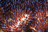 Mauritius clownfish (Amphiprion chrysogaster) eggs, Reunion island, Indian Ocean