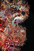 Portrait of Tassled scorpionfish (Scorpaenopsis oxycephala), La Réunion, Indian Ocean