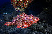 Tassled scorpionfish (Scorpaenopsis oxycephala) on bottom, La Réunion, Indian Ocean