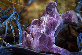 Commerson frog Fish (Antennarius commerson) in the reef, Mayotte, Indian Ocean