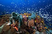 Sponges on Coral reef, Mayotte, Indian ocean
