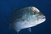 Bluefin trevally (Caranx melampygus), Reunion Island, Indian Ocean