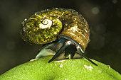 Baikal Aquatic snail (Megalovalvata baicalensis) on a freshwater sponge at the bottom of Lake Baikal, Siberia, Russia