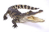 Siamese crocodile (Crocodylus siamensis) on white background