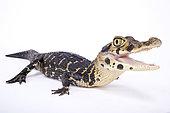 Black caiman (Melanosuchus niger) on white background