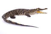 Crocodile du Nil (Crocodylus niloticus) sur fond blanc