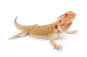 Bearded dragon (Pogona vitticeps) on white background