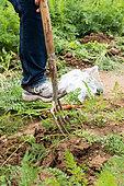 Gardener digging up Daucus carrots with a garden fork