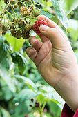 Child picking autumn-fruiting raspberries