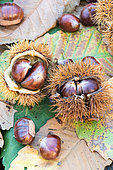 Sweet Chestnuts, Moselle, France