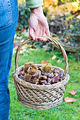 Woman holding a basket of Sweet Chestnuts, Moselle, France