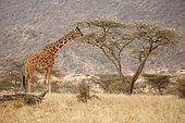Reticulated giraffe (Giraffa c. reticulata), Samburu, Kenya
