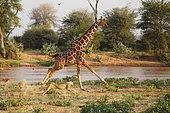 Lion (Panthera leo) hunting a reticulated giraffe (Giraffa c. reticulata), Samburu, Kenya