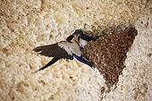 Hirondelle à longs brins (Hirundo smithii) nourissant son petit, Samburu, Kenya