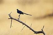 Golden-breasted starling (Lamprotornis regius), Samburu, Kenya