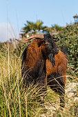 Mallorcan Wild Goat (Capra aegagrus), Serra de Tramuntana, Mallorca, Spain