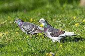 Domestic pigeon (Columba livia domestica), in the grass, Canton of Geneva, Switzerland
