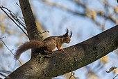 Red squirrel (Sciurus vulgaris) in a tree, Beaulieu park, Geneva, Switzerland.