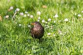 Blackbird (Turdus merula) female in the grass, Beaulieu park, Geneva, Switzerland.