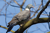 Wood pigeon (Columba palumbus) on a branch, Beaulieu park, Geneva, Switzerland.