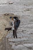 House martin (Delichon urbicum) nest feeding, Canton of Geneva, Switzerland.