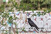 Black Crow (Corvus corone) on a fence, Beaulieu park, Geneva, Switzerland