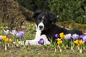 Border collie, puppy sitting between crocuses in a garden