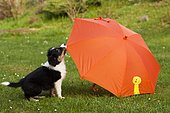 Border collie, tricolor, puppy playing with an orange umbrella