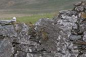 Fulmar (Fulmarus glacialis) Fulmar laying on a wall, Shetland, Spring