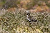 Golden plover (Pluvialis apricaria) Plover looking for food in the moorland, Shetland, Spring