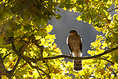 Sparrowhawk (Accipiter nisus) Male perched in an oak tree, Autumn, England