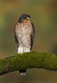 Sparrowhawk (Accipiter nisus) Male perched on a mossy branch, Autumn, England