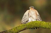 Sparrowhawk (Accipiter nisus) Male perched on a mossy branch and sunbathing, Autumn, England