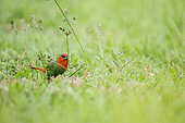 Red-throated parrotfinch (Erythrura psittacea) feeding on seeds in the grass, Northern Province, New Caledonia