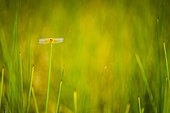 Dragonfly on a grass, Northern Province, New Caledonia