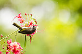 Grey-eared Honeyeater (Lichmera incana incana), Hienghene, New-Caledonia