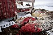 Hunt-killed seals, february 2016, Kap Hope (Igterajivit), Greenland