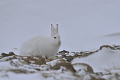 Arctic hare (Lepus arcticus), february, Igterajivit district, East Greenland