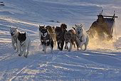 Chasseur partant d'Unarteq. Groenland , février 2016