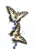 Old World Swallowtail (Papilio machaon) on white background