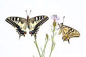 Old World Swallowtail (Papilio machaon) on white background