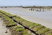 Oyster farm in Bricqueville-sur-Mer, Normandy, France