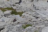 Rock Ptarmigan (Lagopus muta) Juvenile on the ground, Upper Valais, Switzerland
