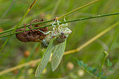 Cicada in the process of moulting, southern France