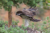 Short-toed Snake Eagle (Circaetus gallicus) Juvenile in the nest, flight training, southern France